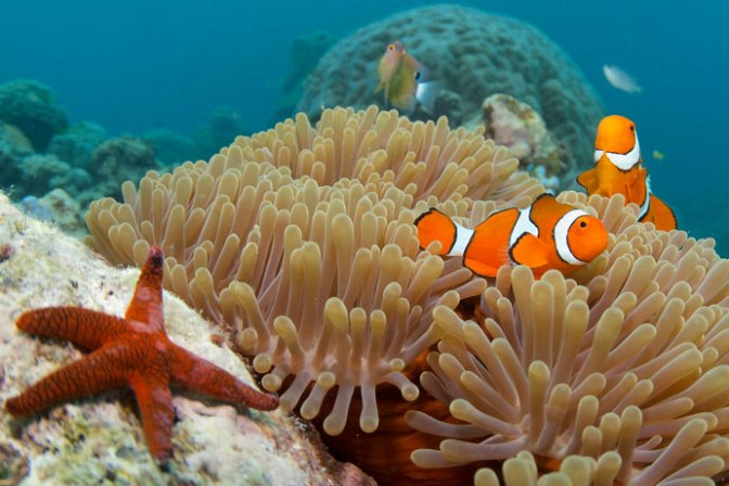 starfish_and_nemo_clown_anemone_fish-634